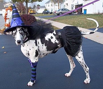 Sugar Is The Sweetest Witch Sugar Joy A Harlequin Great Dane