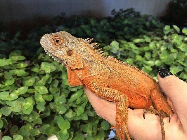 Blue Iguana For Sale : Iguanas for sale online green iguana for sale blue iguana for sale