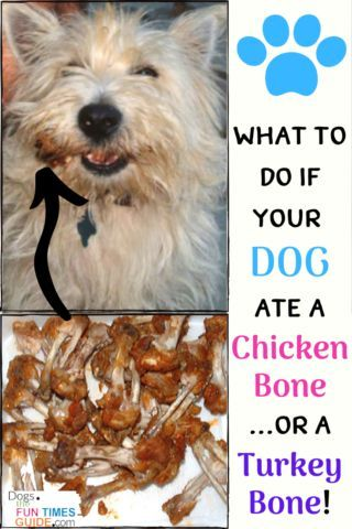 If your dog has eaten one or more chicken bones or turkey bones, you DON'T need to panic.But you DO need to do these things right away! #dogbones #dogsafety #dogfood #doghealth #dogremedies #dogchicken #dogfood #dogturkey