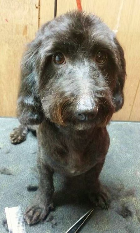 Doxiepoo cuteness! Dachshund mix, Dog grooming, Dachshund