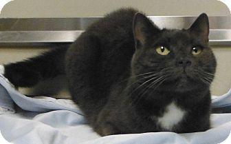 Cedartown, GA - Russian Blue. Meet 31862963 a Cat for ...