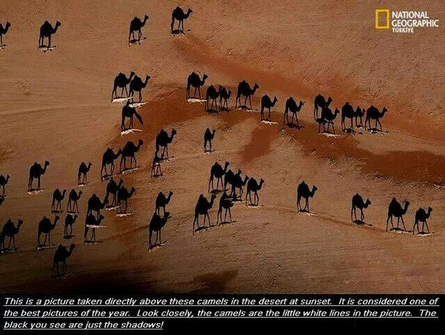 Camels and their shadows
