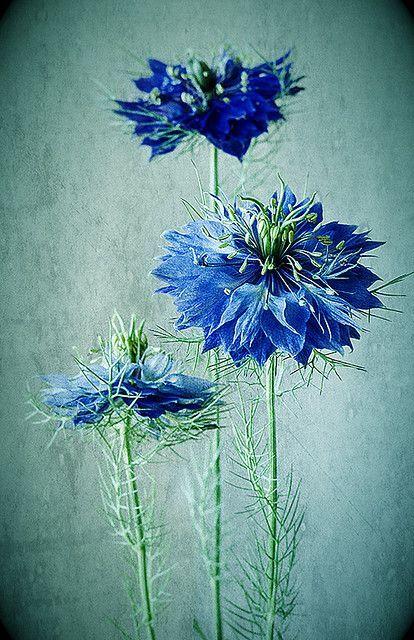Love In A Mist Nigella Aka Love In A Mist One Of The Few True Blue Flowers By Colleen Farrell Blue Flowers Beautiful Flowers Love Flowers