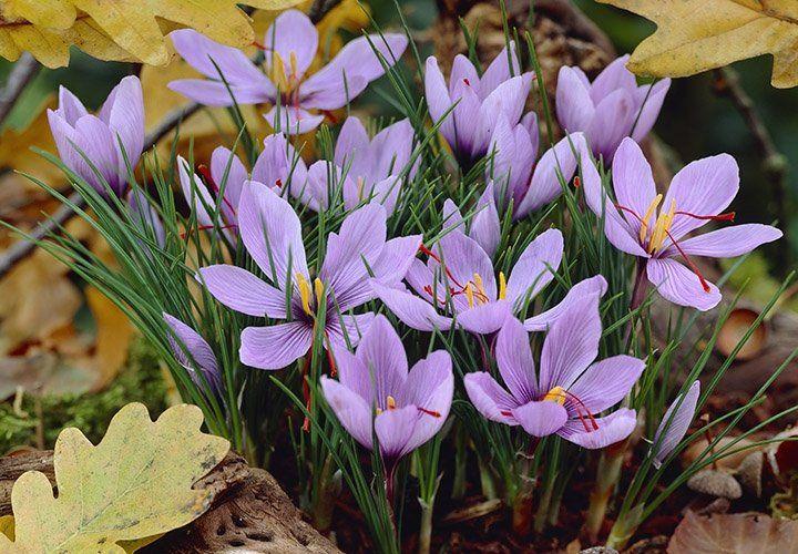 Growing Saffron Crocus: Planting Saffron Crocus Bulbs ...