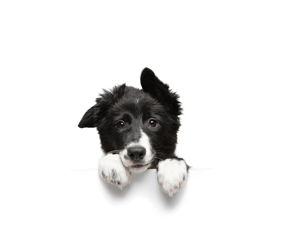 Funny Little Black White Border Collie White Border Collie Cute Dogs Border Collie