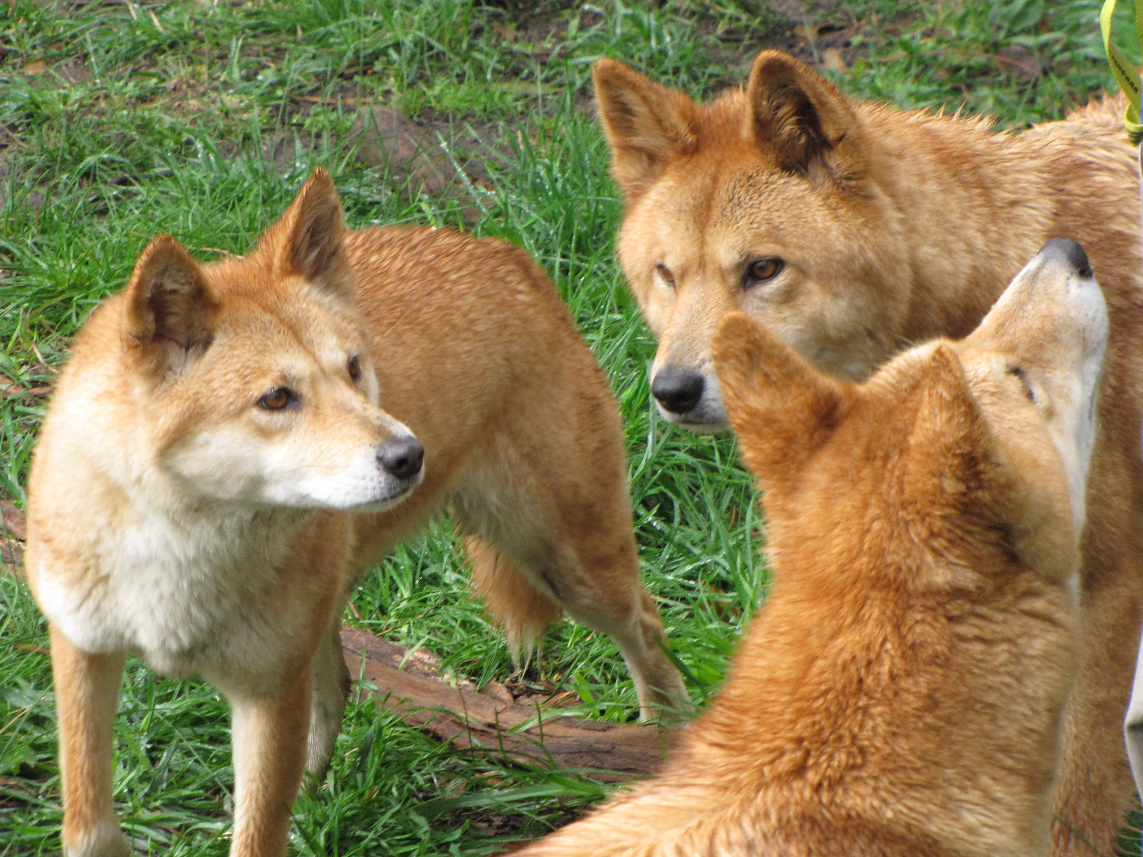 Won T It Be Funny If One Of These Dingos Was Named Bingo