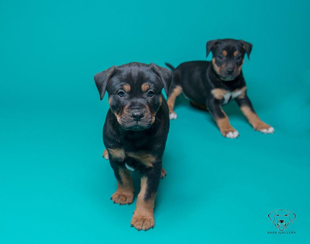 Playful Puppies Pose on Teal Seamless Paper Savage