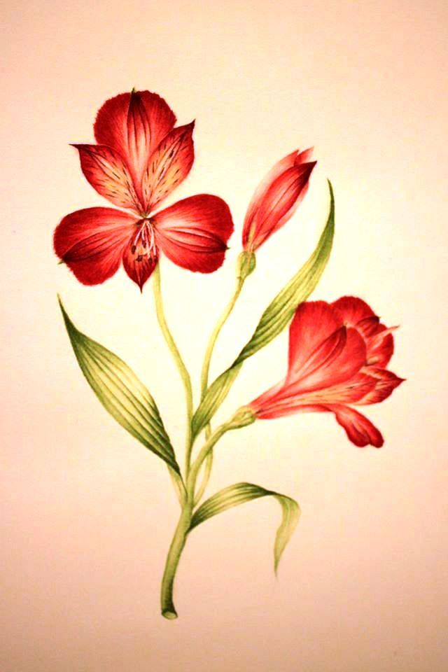 Alstroemeria Watercolour Lilies Drawing Flower Illustration Flower Drawing