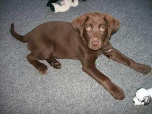 Adopt Sophie On Labrador Retriever Dog Lucky Puppy Chocolate