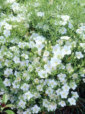 Groundcover garden pinterest white flowers lawn and flowers groundcover flowering plantswhite mightylinksfo