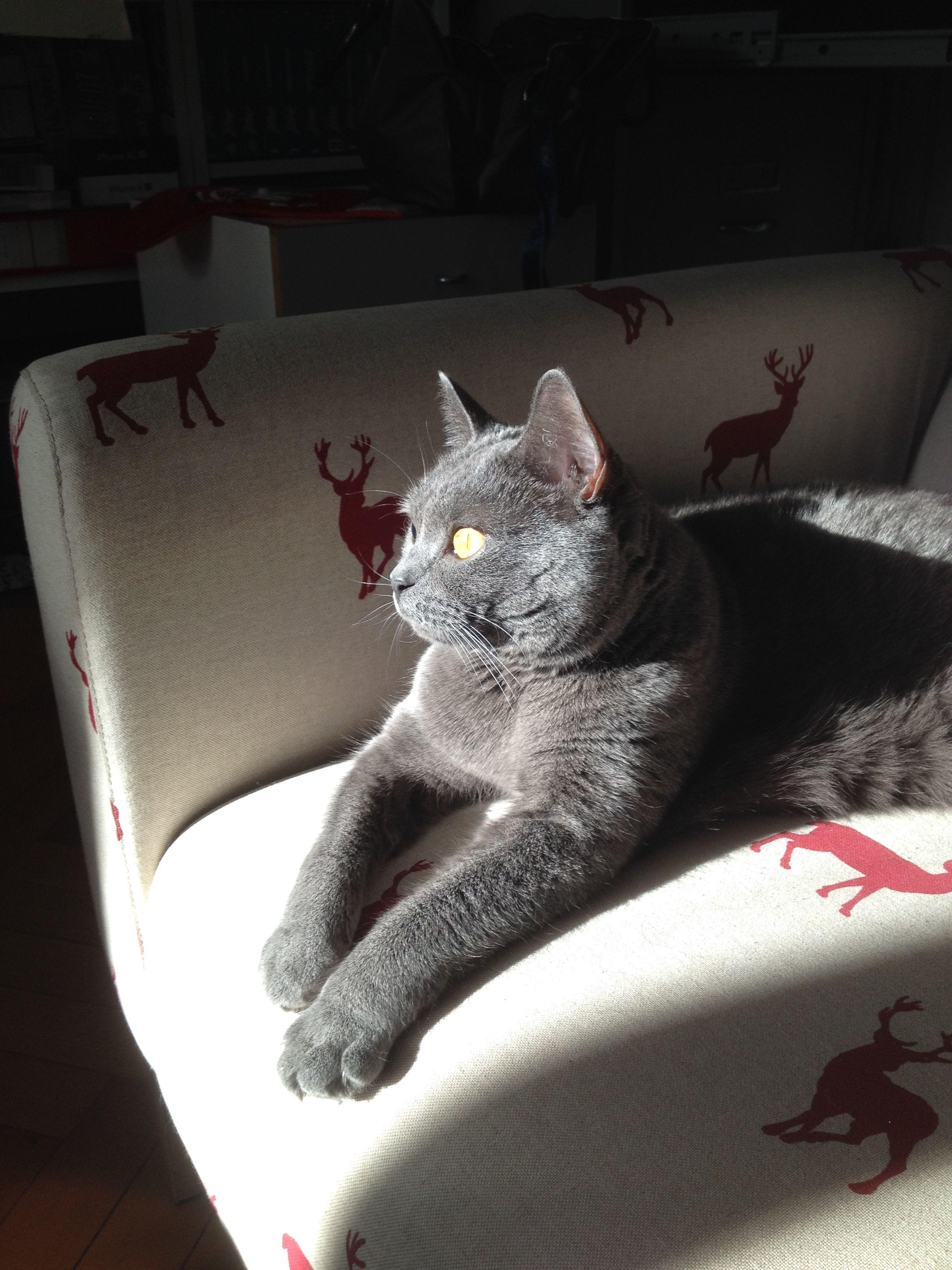 Chartreux cat, gatto Certosino