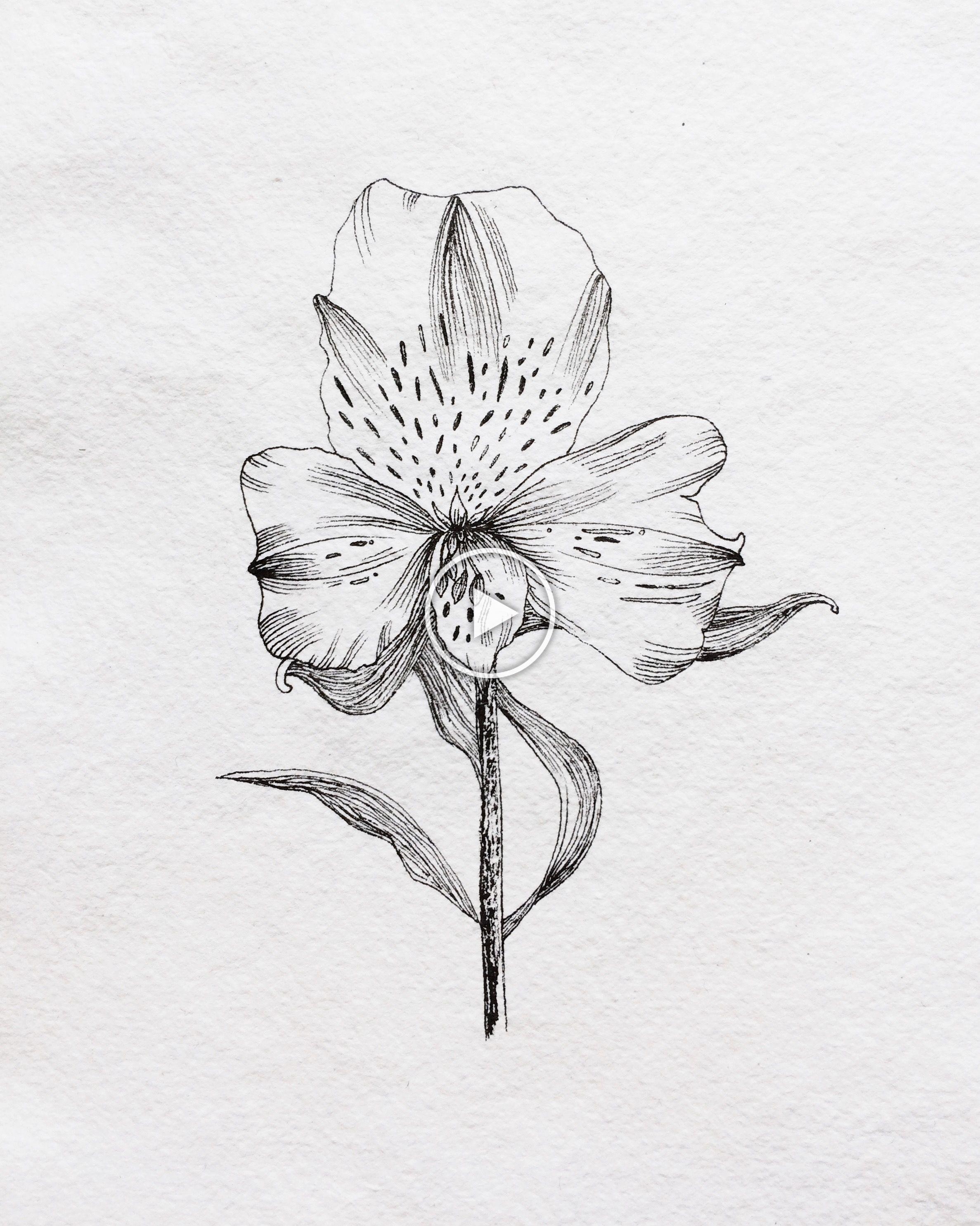 Alstroemeria Peruvian Lily Drawn In Fountain Pen By Artist Claire Leach In 2020