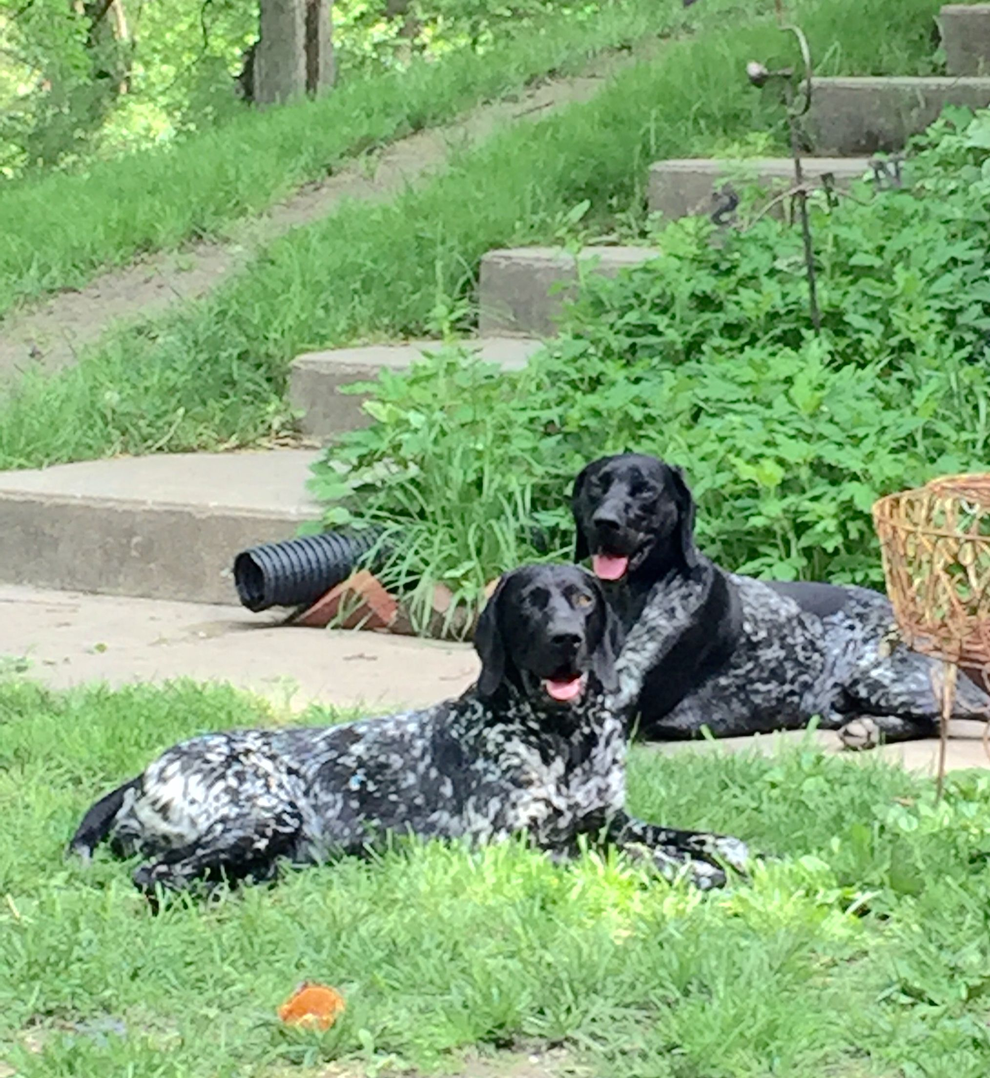 Black german short haired pointers german shorthaired