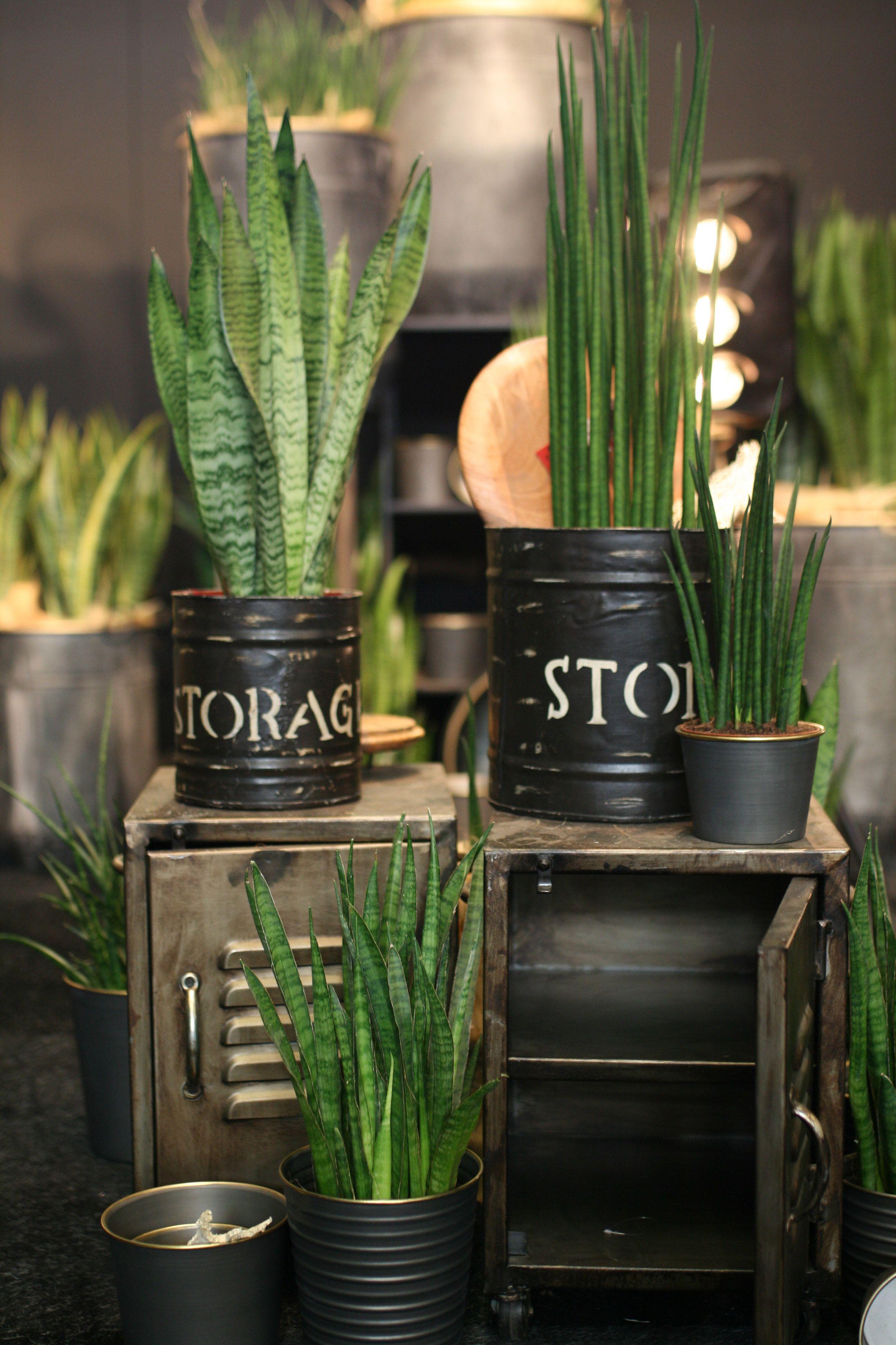 Stylische Zimmerpflanzen In 2020 Pflanzen Zimmerpflanzen Bogenhanf
