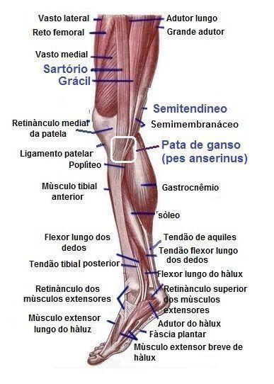 Pata de ganso,anatomia, músculos medial,coxa, panturrilha ...