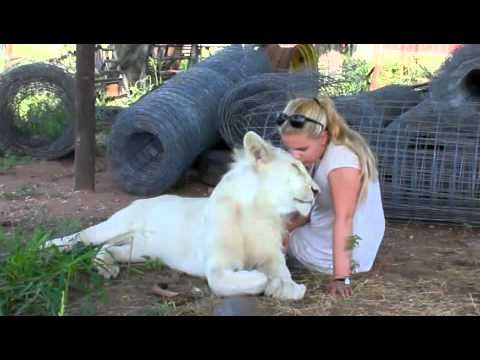 VIDEO: Walking with Lions, and Swimming with Tigers in South Africa