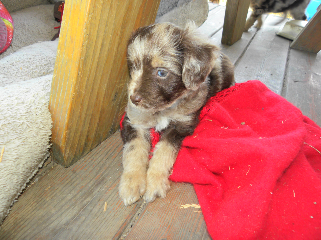 About Aussiedoodles Aussiedoodle Puppies for Sale (With