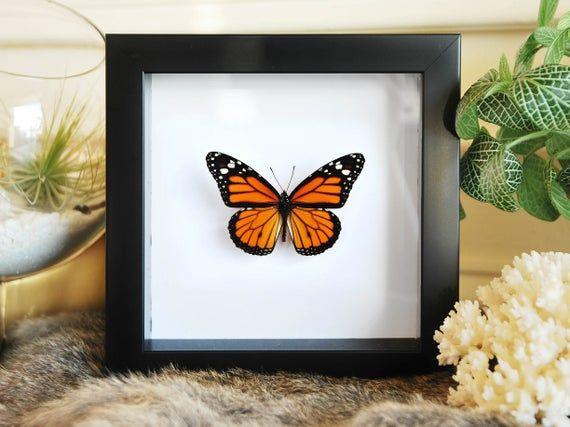 Framed Butterfly Taxidermy Monarch Butterfly Insect Art Taxidermy Butterfly Danaus Plexippus Framed Butterfly Wall Art Butterfly Frame Butterfly Wall Art