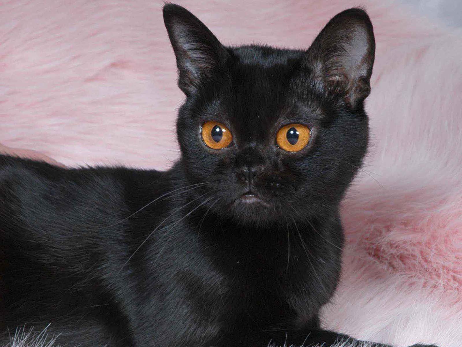 Pin Em Black Cats