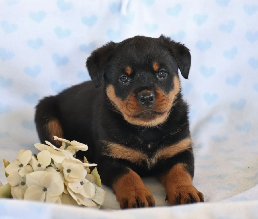 💙😄 Meet the #Handsome #Rottweiler puppies!! They will win your heart with their #Sweet personalities and funny #Playful actions. ▬▬▬▬▬▬▬▬▬▬▬▬▬▬▬▬▬▬▬ #Charming #PinterestPuppies #PuppiesOfPinterest #BuckeyePuppies #Puppy #Puppies #Pups #Pup #Funloving #PuppyLove #Cute #Cuddly #Adorable #ForTheLoveOfADog #MansBestFriend #Animals #Dog #Pet #Pets #ChildrenFriendly #PuppyandChildren #ChildandPuppy www.BuckeyePuppies.com