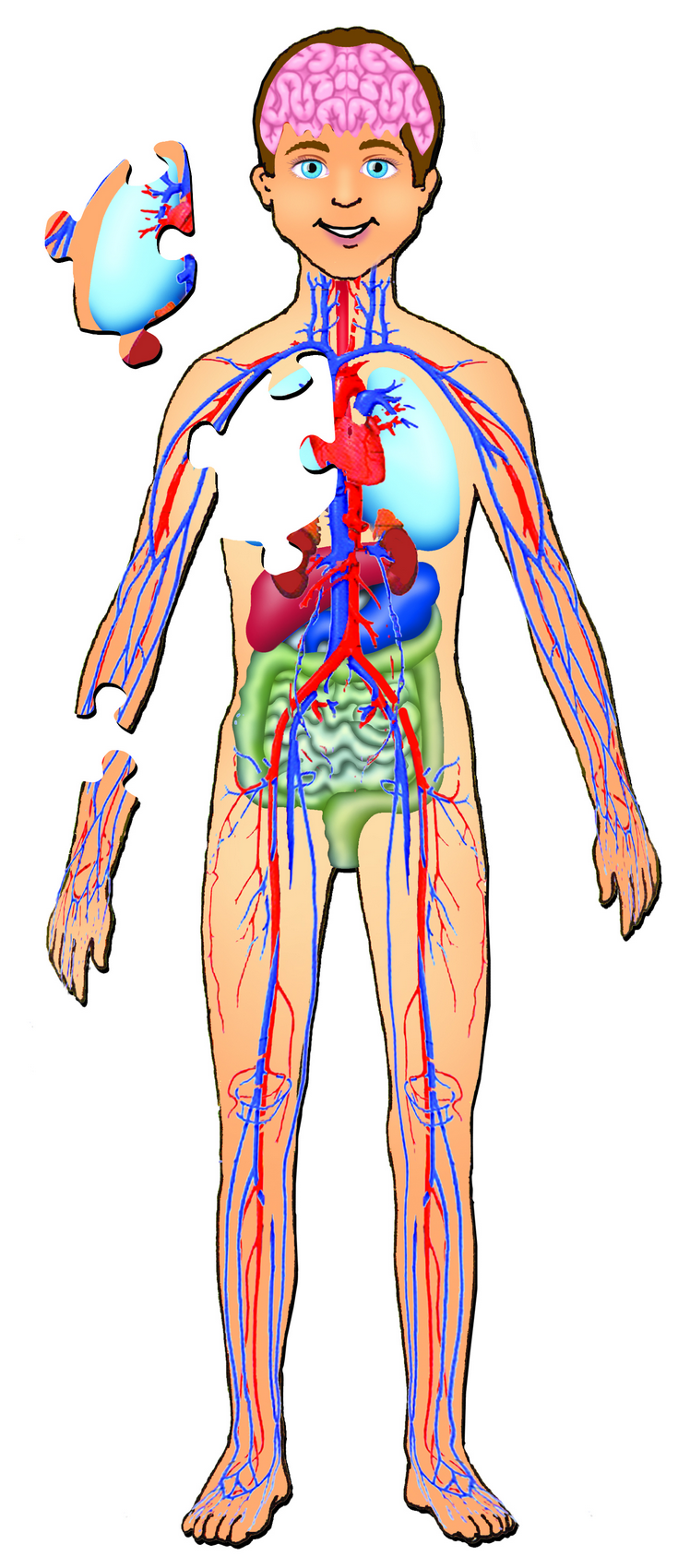 Human Body With Organs
