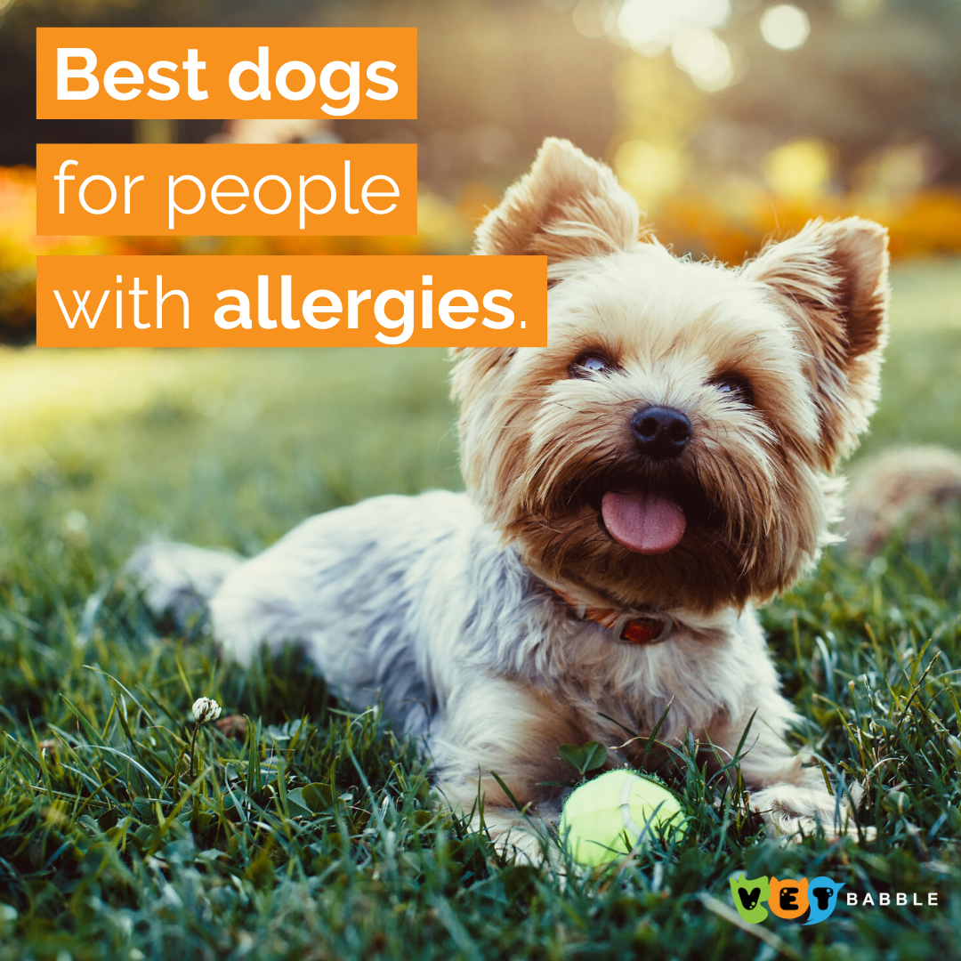 Best Dogs For People With Allergies Vetbabble Dogs Dog Allergies Allergic To Dogs