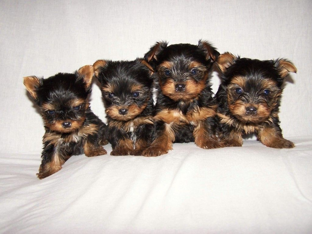 56 Teacup Puppies Wallpapers On Wallpaperplay Teacup Yorkie Puppy Yorkshire Terrier Puppies Teacup Puppies