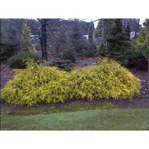 golden mop cypress/dwarf SHRUB | Wet Mops, Dust Mops and Microfiber Mops from Golden Star