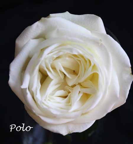 white polo rose has a similar shape to a garden rose this is day