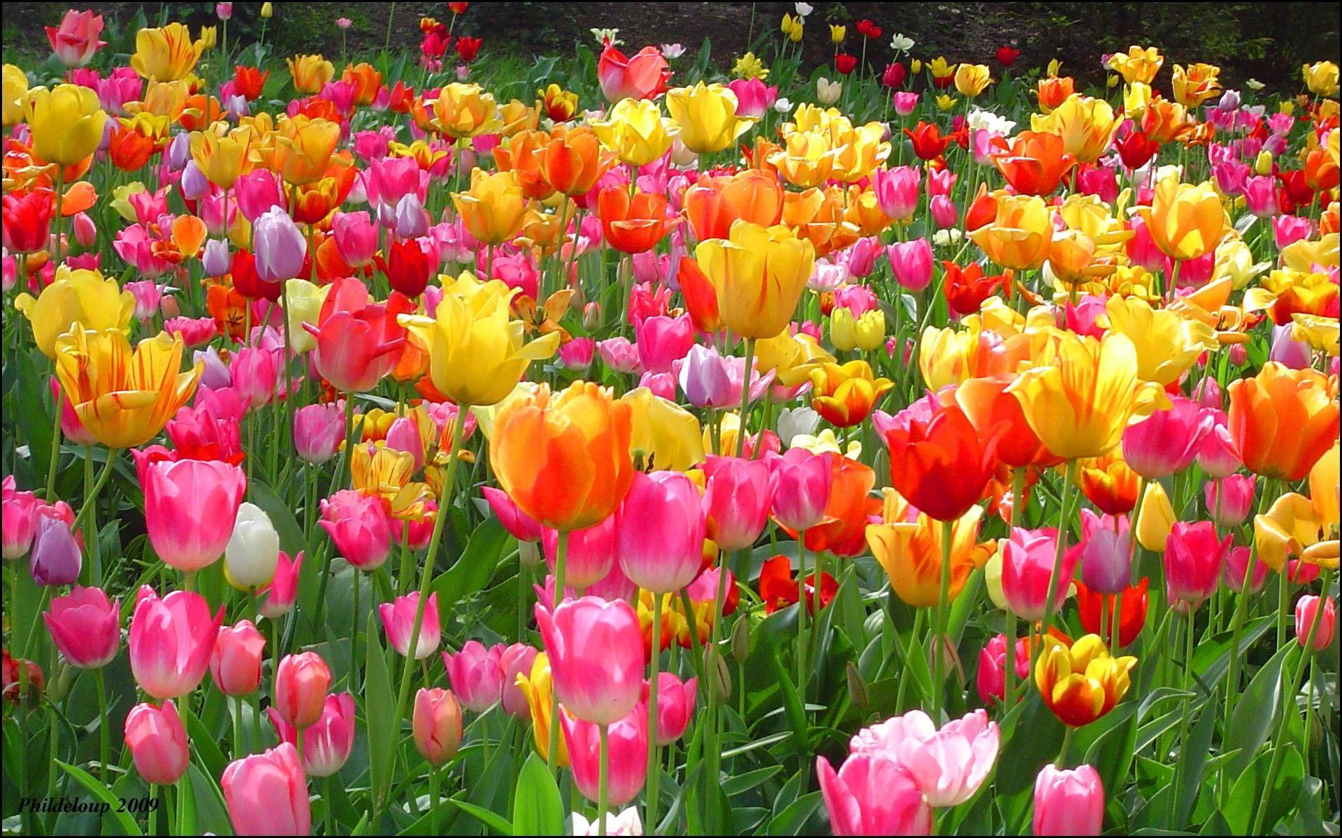 Permalink to Tulip Flower Garden Wallpaper
