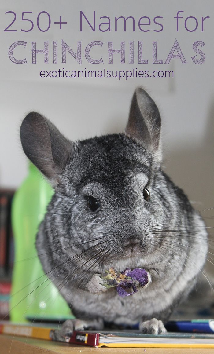 250+ Names for Chinchillas (Male, Female, & Pairs