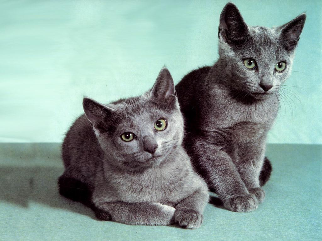 Russian Blue Cats 239715 Russian Blue Russian Blue Cat Grey Cats