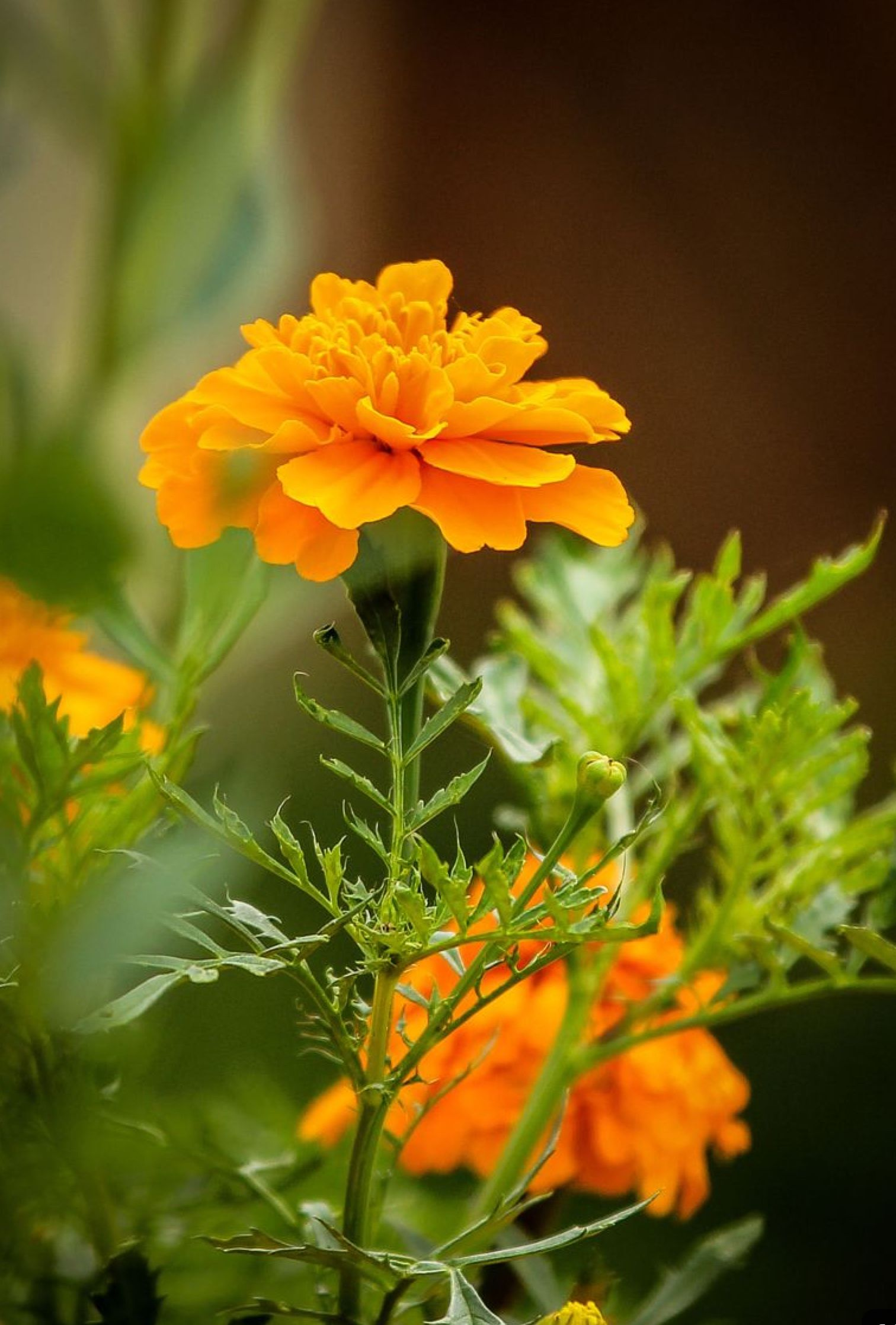 Pin by Gail Steven on Flower cottages Marigold flower