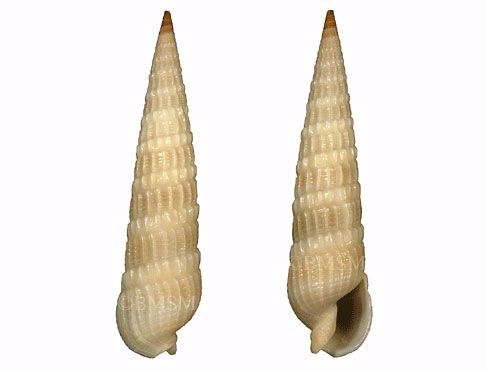 Eastern Auger Seashell