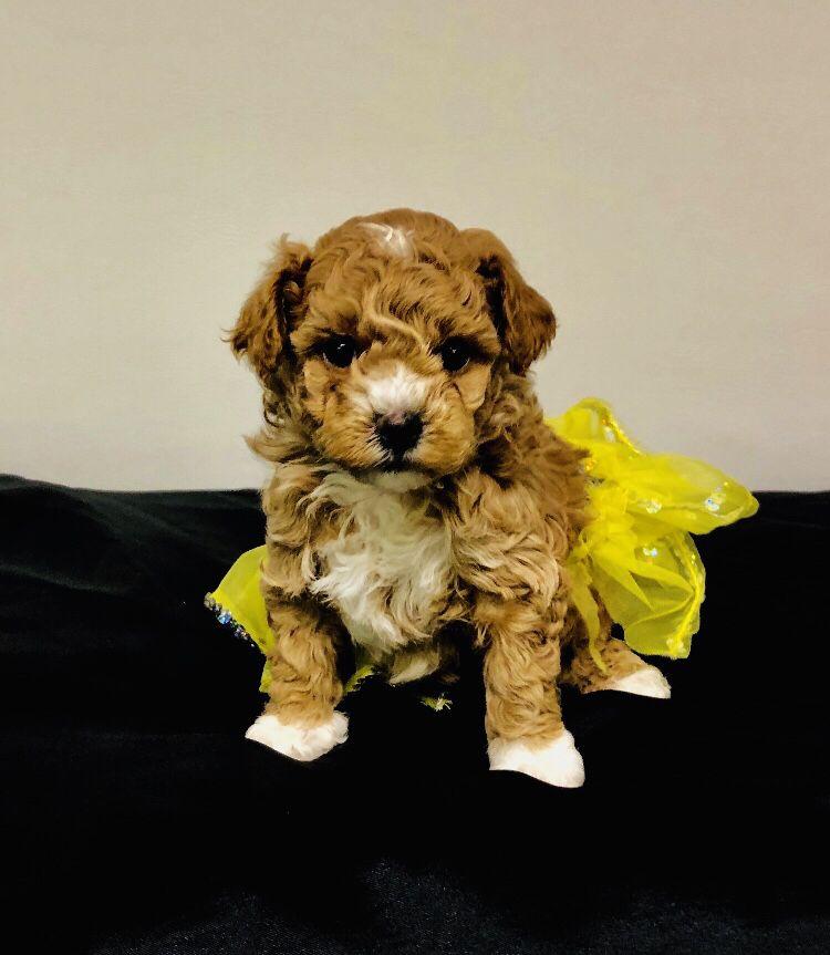 Maltipoo dog adoption cute puppies puppies