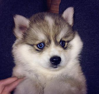 Pomsky Puppies For Adoption Pomsky Puppies Puppies Pet Dogs