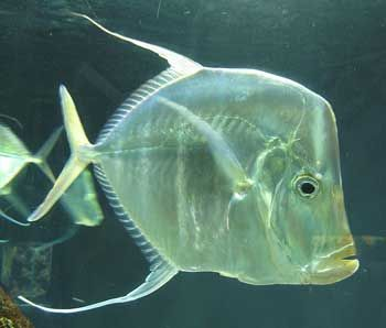 Saltwater fish species south atlantic gulf of mexico for Gulf fish species
