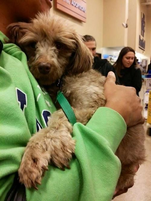 Adopt Tango On With Images Poodle Dog Puppy Mills Dogs