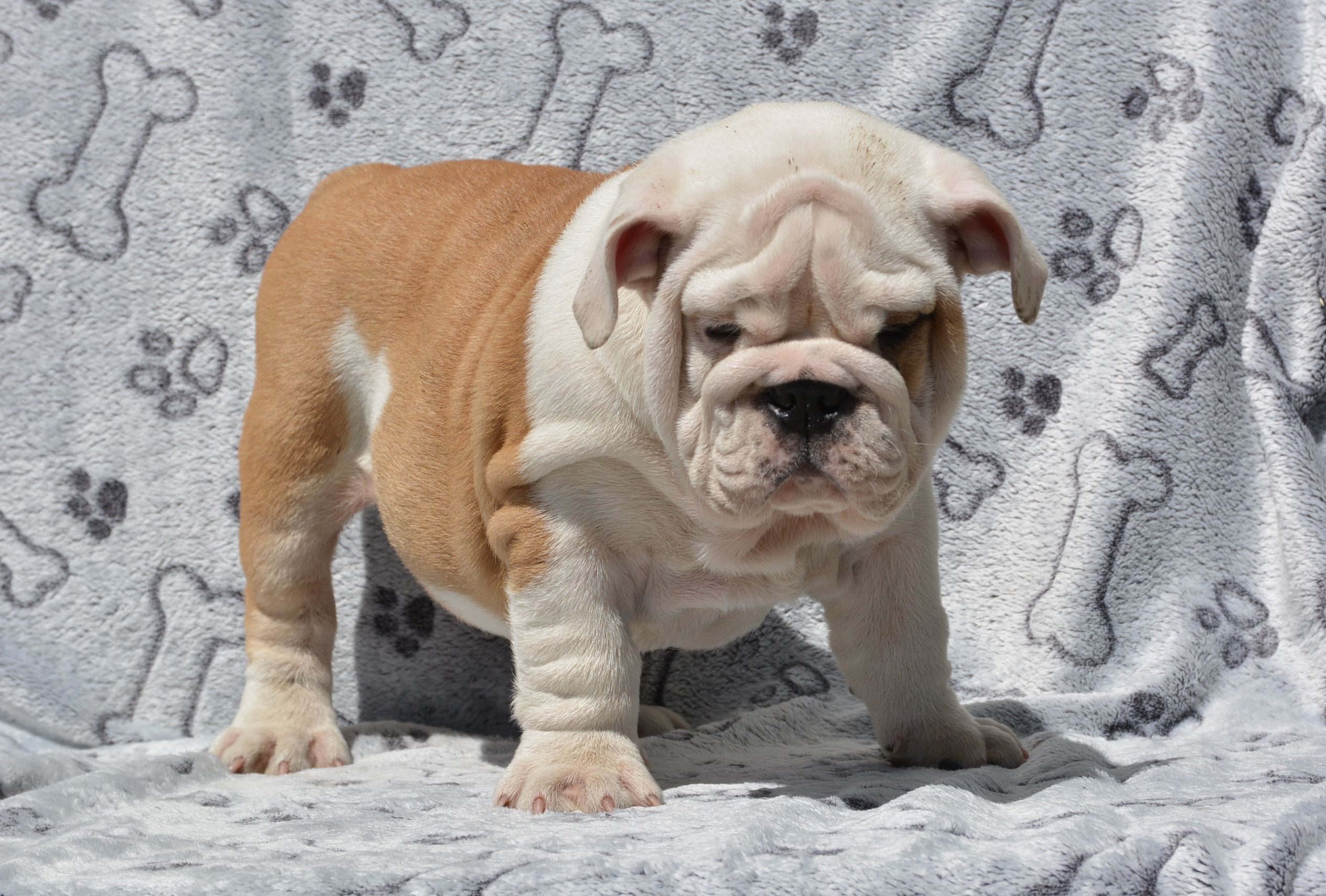 English Bulldog English Bulldog For Sale English Bulldog Puppies Bulldog Puppies