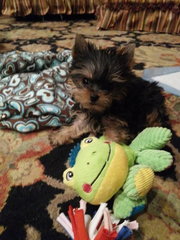 Priceless Yorkie Puppy Michigan Breeder Specializing in