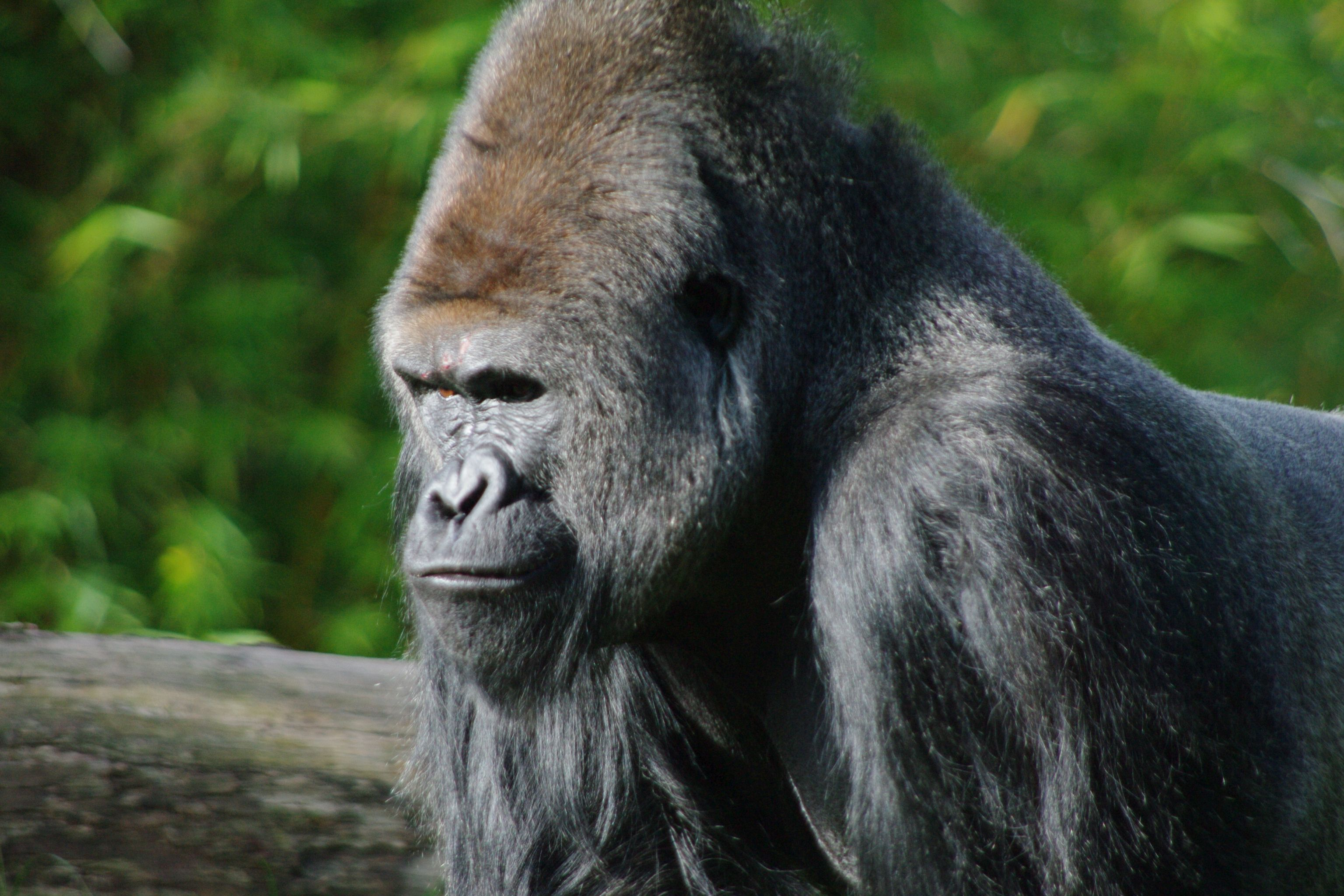 Angry Silverback Gorillas angry looking silverba...