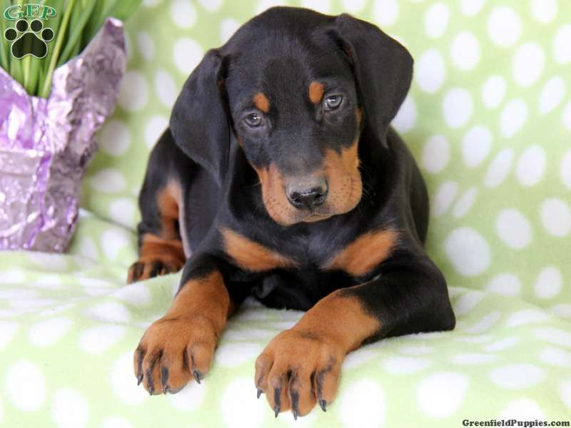 Doberman Pup Black And Tan Doberman Pinscher Puppy Miniature