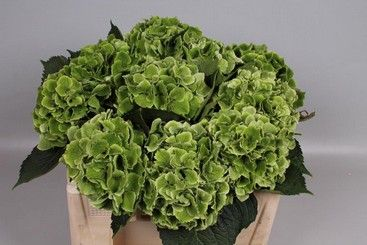 Hydrangea Magical Emerald Green Types Of Flowers Hydrangea Flora