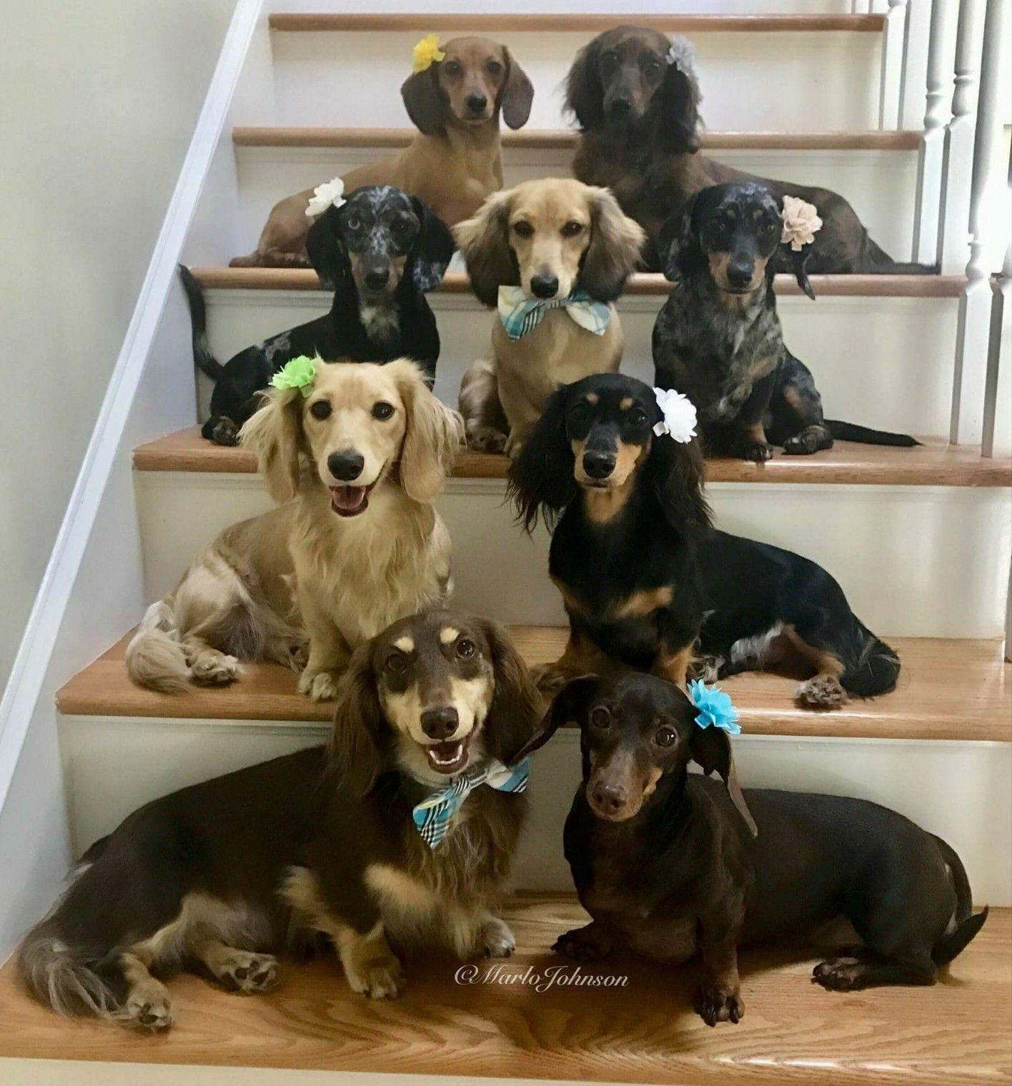 Stairway To Heaven Weiner Dog Wiener Dog Dachshund Puppies
