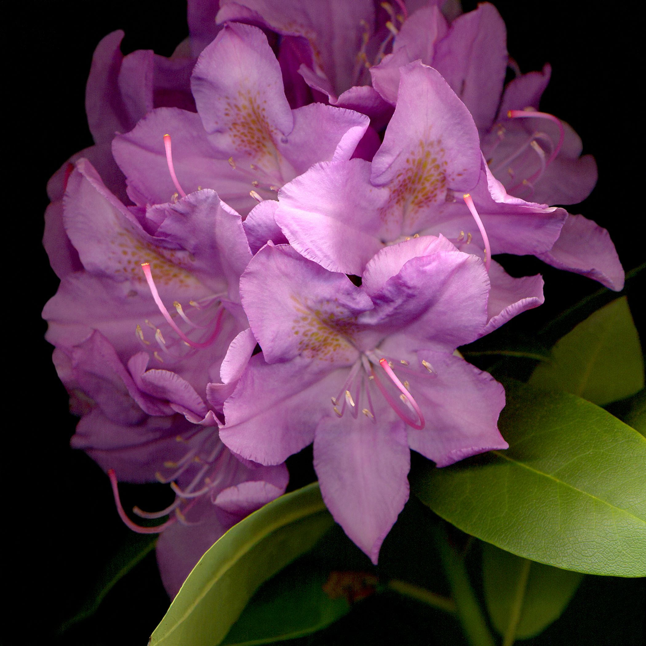 Rhododendron in front of my house