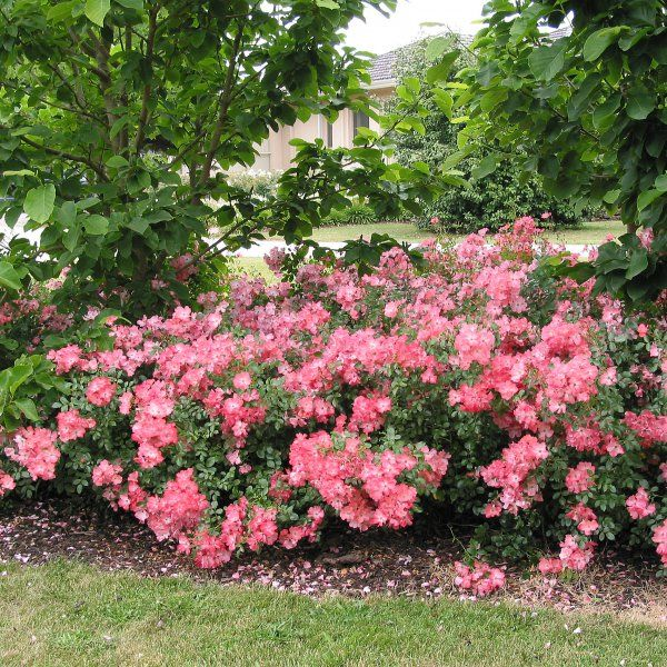 Flower carpet rose low growing ground covering rose for Low growing plants for flower beds