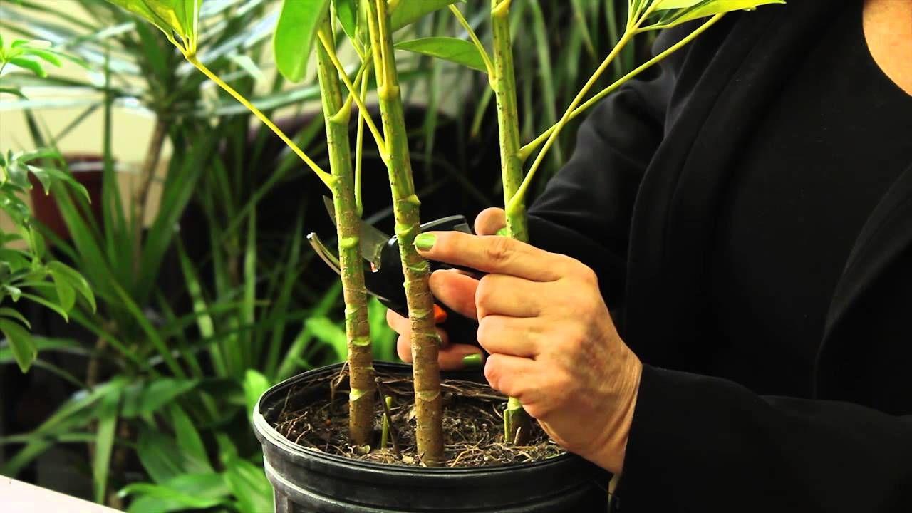 How to prune a schefflera plant gardening plant care