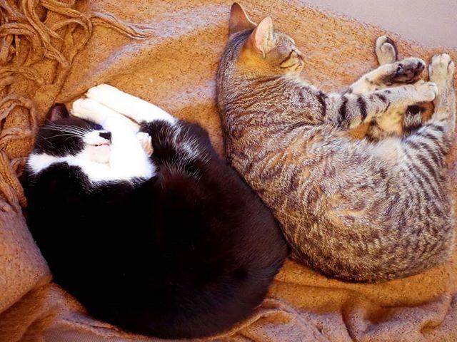Le miracle a eu lieu : les minettes ont enfin trouvé un terrain d'entente ! (la seule et unique fois oû elles se sont couchées l'une à côté de l'autre : patience hein...) . . . . . . #catlover #pets #catphotography #catsofinstagram #lovecats #catpic #adorable #tropmignonne #ilovemycat #pet #catsoftheworld #cat #catoftheday #cats #cat_of_instagram #petsagram #animals #instacat #catlovers #angelique