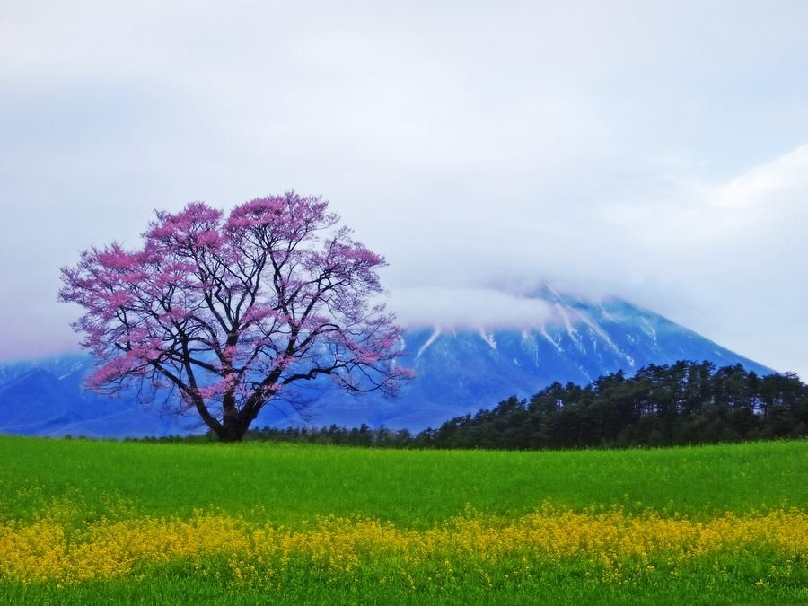One cherry trees Photo by Akira Jinba -