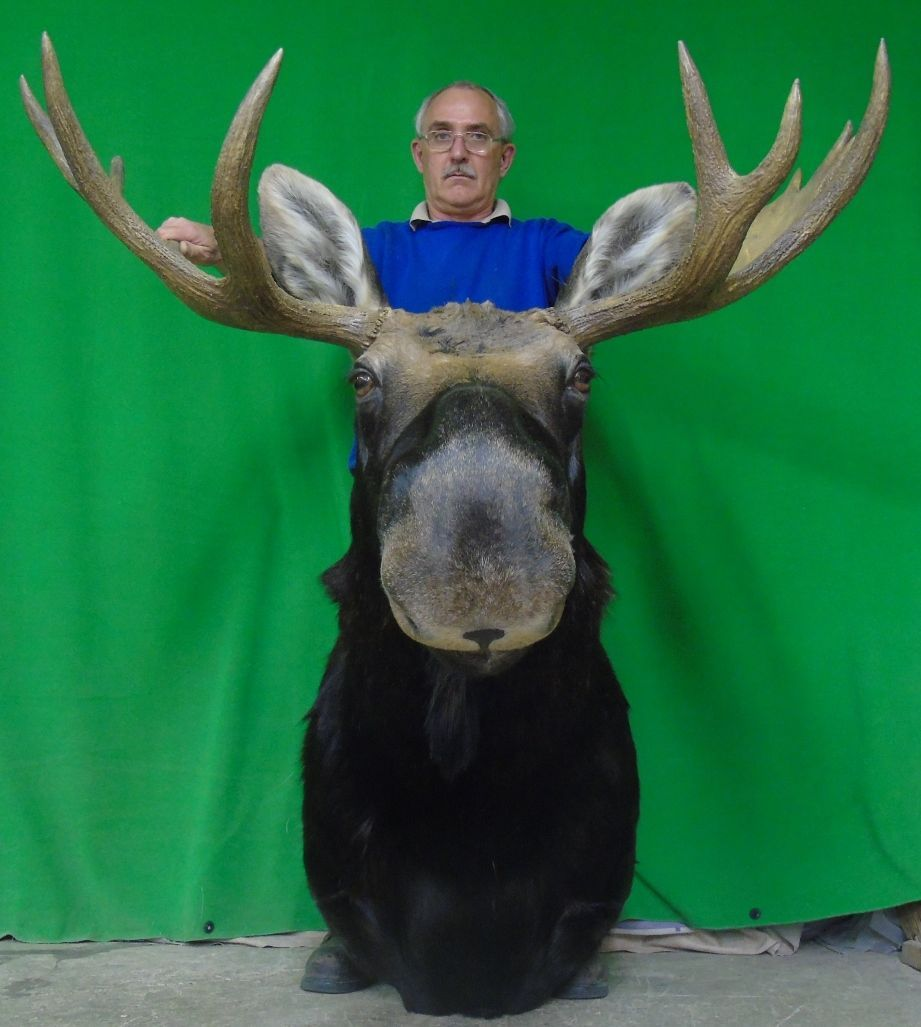 New moose mount taxidermy head large canadian bulls7 deer antler new moose mount taxidermy head large canadian bulls7 deer antler chandelier arubaitofo Image collections